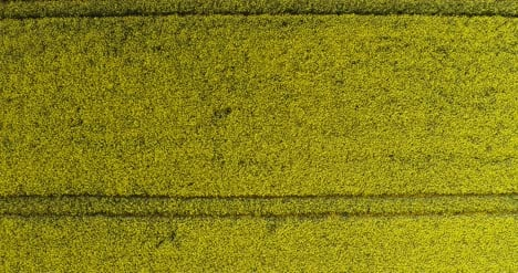 Aerial-View-Of-Rapeseed-Blooming-On-Agricultural-Field-4