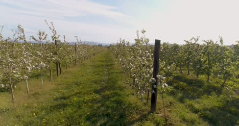 Apple-Orchard-In-August-Aerial-Shoot-2