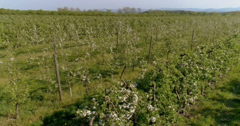 Apple-Orchard-In-August-Aerial-Shoot-5