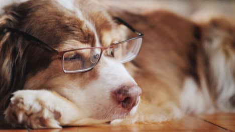 Portrait-Of-A-Cute-Sheepdog-With-Glasses