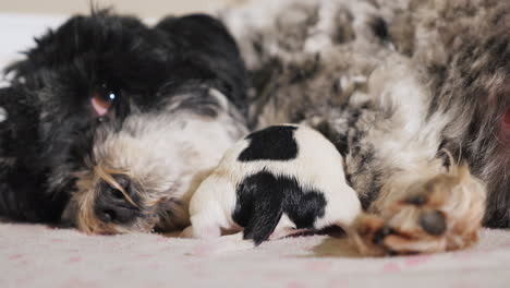Dog-After-Giving-Birth-With-Newborn-Puppy-01