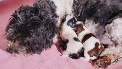Dog-After-Giving-Birth-With-Newborn-Puppy-07