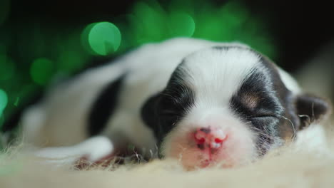 Newborn-Puppy-Sleeps-Against-A-Backdrop-Of-Christmas-Decorations-03