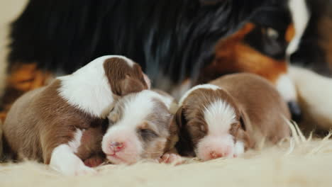 Dog-Cares-For-Her-Newborn-Puppies-02