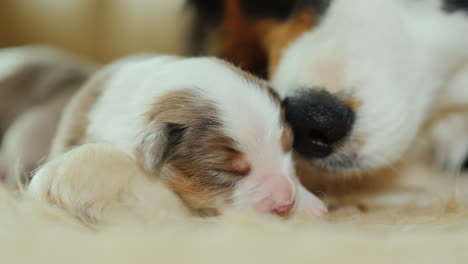 Dog-Cares-For-Her-Newborn-Puppies-04