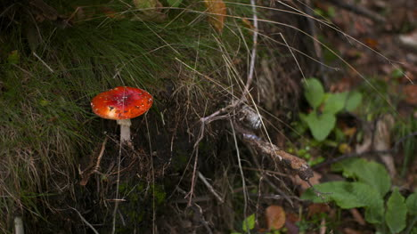 Dangerous-Red-Toadstool-In-Forest