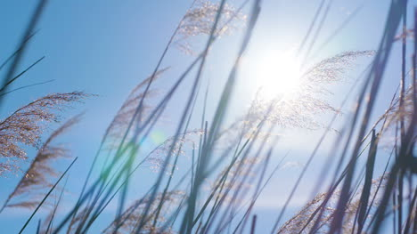 Sunset-Through-The-Reeds-Silver-Feather-Grass-Swaying-In-Wind-4
