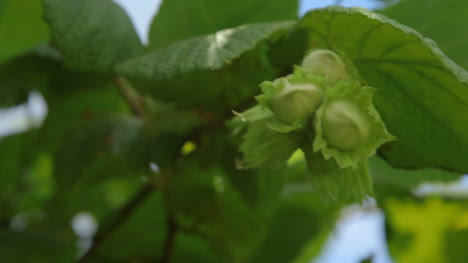 Hazelnuts-On-A-Tree-Grows-In-The-Forest-