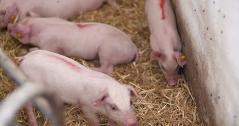 Small-Pigs-On-Livestock-Pigfarm-1