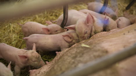 Pigs-On-Livestock-Farm-Pig-Farming-Young-Piglets-At-Stable-60