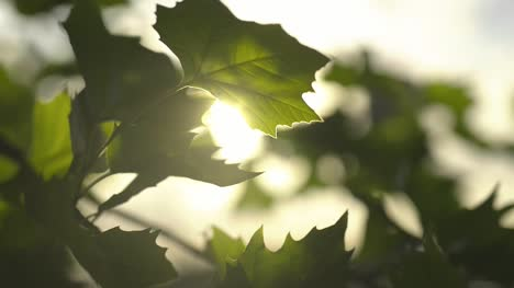 Sun-Light-Shining-Through-Leaves-8