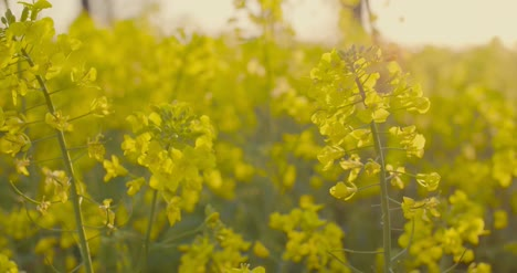 Blooming-Canola-Field-Agricultural-Field-On-Canola-5