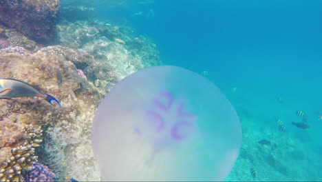 Jellyfish-Swims-In-The-Background-Of-A-Coral-Reef