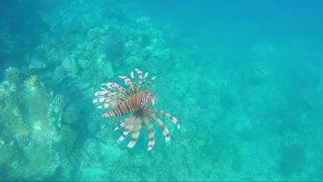 Fish-Lionfish---Dangerous-Creatures-In-The-Red-Sea