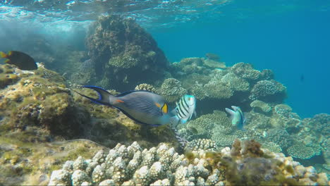 Bright-Exotic-Fish-Float-In-The-Surf-Line-Near-The-Coral-Reef
