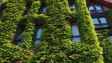 The-Windows-Of-The-Brick-Building-Were-Covered-With-Ivy-Greens-In-The-City