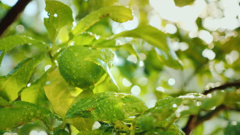 A-Green-Lemon-Fruit-Ripens-On-A-Tree-Covered-With-Drops-Of-Water-The-Sun-Shines-Brightly-Citrus-Gard