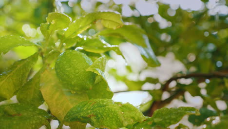 A-Few-Lemons-With-Water-Droplets-Ripen-In-The-Sun-4k-Video
