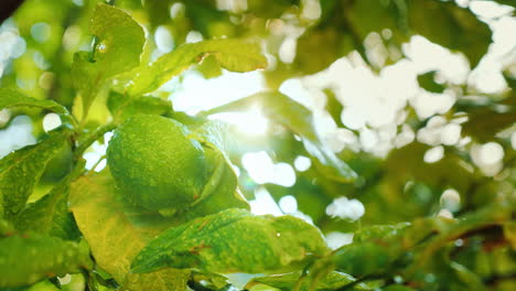 Lime-Ripens-On-The-Tree-After-The-Rain-Drops-Of-Water-Shine-On-The-Leaves-Citrus-Garden-4k-Video