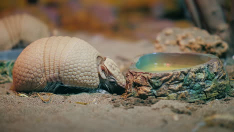 Armadillo-(Armadillo-Disambiguation)-4k-Video