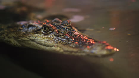 The-Head-Of-The-Siamese-Crocodile-Peeps-Out-Of-The-Water-4k-Video
