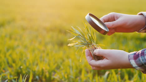 The-Hands-Of-A-Farmer-Who-Studies-Wheat-Sprout-Through-A-Magnifying-Glass-On-The-Field