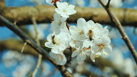 Bee-Collecting-Pollen-On-Apricot-Blossom