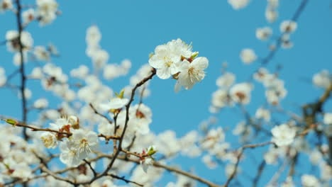 A-Branch-Of-Blossoming-Apricots-Against-A-Blue-Sky