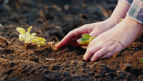 Farmer-s-Hands-Carefully-Plant-Strawberry-Seedling-In-The-Ground