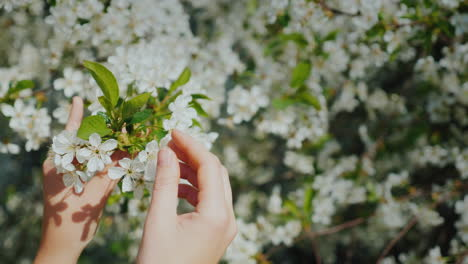 Women-s-Hands-Are-Touching-A-Branch-Of-A-Flowering-Tree