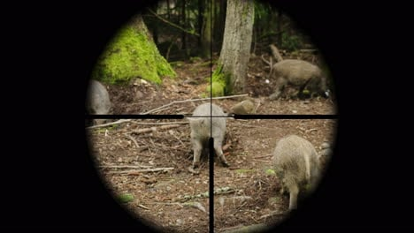 Hunter-Takes-Aim-At-A-Wild-Pig-In-The-Forest-View-Through-A-Telescopic-Sight