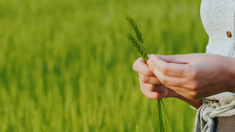 Farmer-s-Hands-With-Spikelets-Of-Green-Wheat
