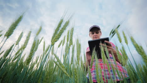 Middle-Aged-Female-Farmer-Working-In-A-Wheat-Field-Using-A-Tablet-Bottom-Angle-Shooting