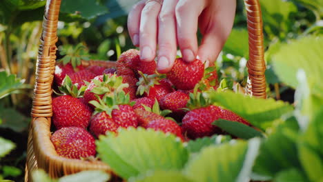 A-Farmer-Puts-Strawberries-In-A-Basket-Harvesting-Berries