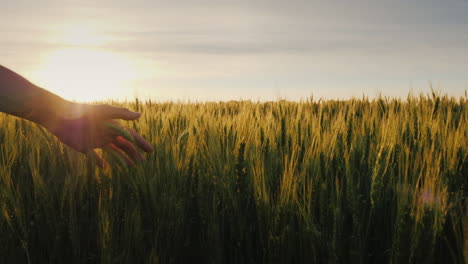 Farmer-s-Hand-Looks-At-The-Ears-Of-Wheat-At-Sunset-The-Sun-s-Rays-Shine-Through-The-Ears