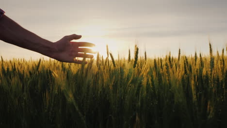 The-Hand-Of-A-Male-Farmer-In-The-Sunshine-Over-A-Field-Of-Wheat-A-Farmer-Walks-Along-His-Field