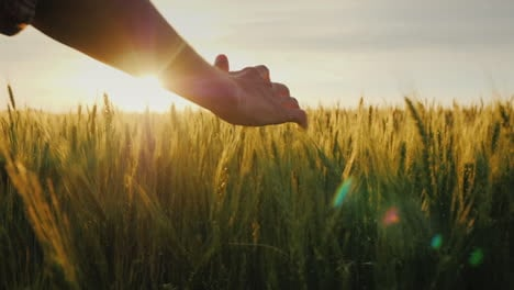 Farmer-s-Hand-Strokes-The-Ears-Of-Wheat-On-The-Field-At-Sunset-A-Farmer-Walks-Along-His-Field