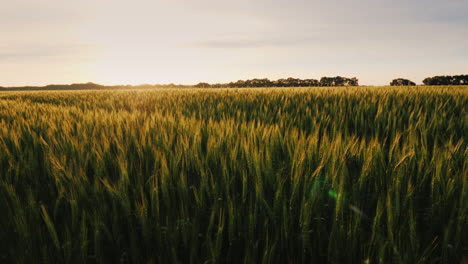 View-Of-The-Picturesque-Wheat-Field-At-Sunset-Slide-Shot