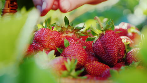 A-Farmer-Harvesting-Strawberries-Puts-The-Berries-In-The-Basket-Close-Up-Shot