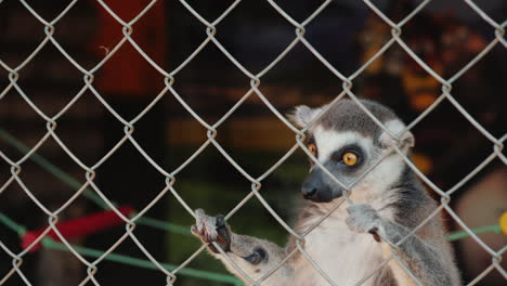 A-Female-Lemur-With-A-Cub-On-Its-Back-Takes-A-Treat-Through-The-Net