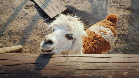 The-Funny-Alpaca-Looks-Out-Of-The-Fence-Waiting-For-A-Meal-Top-View
