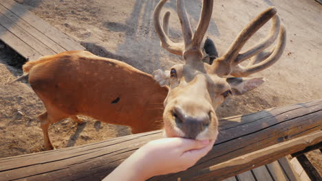 The-Man-Feeds-A-Cute-Deer-Behind-You-Can-See-Small-Deer-And-Other-Animals