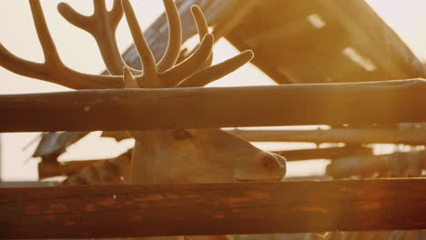 A-Deer-With-Beautiful-Horns-Looks-Out-Of-The-Fence-In-The-Rays-Of-The-Setting-Sun