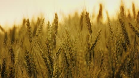 Silhouette-Of-Ripe-Wheat-Ears-Against-The-Orange-Sunset-Sky
