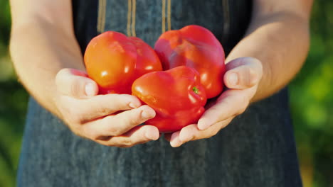 The-Farmer-Holds-In-His-Hands-Several-Ripe-Sweet-Red-Peppers-Vegetables-From-The-Farm-Concept