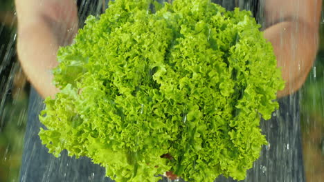 Water-Jets-Flow-On-Lettuce-Leaves-Held-By-A-Farmer-Pure-Organic-Products-Concept
