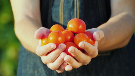 A-Farmer-Holds-A-Handful-Of-Ripe-Red-Tomatoes-Organic-Vegetables-Concept