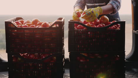 Farmer-Examines-The-Tomatoes-That-Are-In-The-Drawers-In-The-Trunk-Of-A-Car
