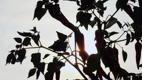 Silhouette-Of-A-Plant-With-Fruits-Of-Hot-Pepper-Growing-Spices