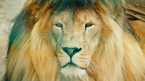 Portrait-Of-A-Formidable-African-Predator---A-Lion